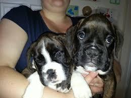 boxer dog reverse brindle 2 dark brindle boxer puppies for sale pontefract west yorkshire