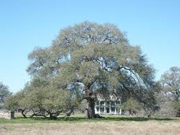 sam houston oak historic tree near gonzales