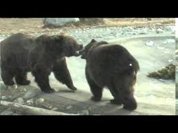 Ozzy The Grizzly Bear Superbowl Xlvii 98 5 The Wolf Youtube - ozzy the grizzly bear predicts super bowl xlviii download mp3 1 07