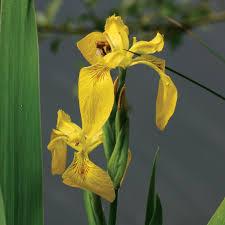 Flag Flower Yellow Flag Iris Pond Plants Online The Pond Guy