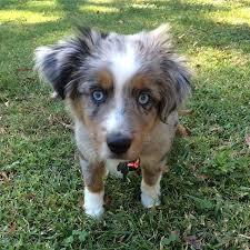 rockin b miniature australian shepherd 106 best awww images on pinterest animals dogs and collie dog
