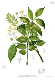 pterocarpus indicus wikipedia