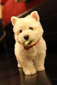 possibly the cutest westie ever sweet pups pinterest fluffy