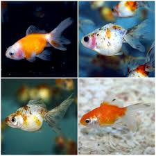 Goldfish In A Vase Celestial Eye Goldfish Stargazer Goldfish Information Care And