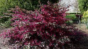 Loropetalum Purple Garden Plants Chinese Fringe Flower Shrub