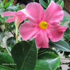 plants native to south america my mandevilla vine is blooming indoors in winter mandevilla is a