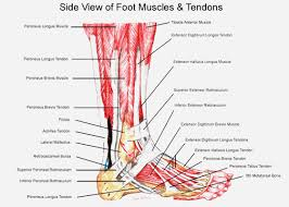 Foot Vascular Anatomy Foot And Ankle Anatomy Google Search Pedorthics Pinterest