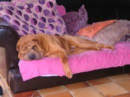 pourquoi les chiens aiment ils tant squatter les canapés