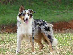 australian shepherd or border collie 125 best for the love of border collies images on pinterest