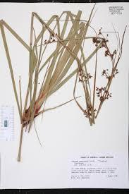 Sawgrass Map Cladium Jamaicense Species Page Isb Atlas Of Florida Plants