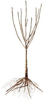 bareroot season sweet berkeley horticultural nursery