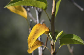 pear tree leaves turning yellow fixing a pear tree with yellow