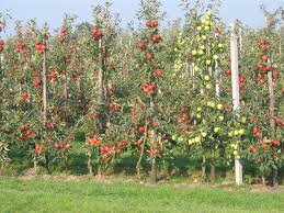 small home orchard orchard apple my orchard garden pinterest