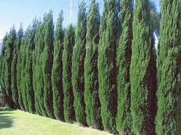 Trees Backyard The 25 Best Privacy Trees Ideas On Pinterest Privacy