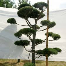 topiary trees scotch pine topiary tree 123 plants beautiful nursery