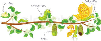 the metamorphosis of the butterfly egg caterpillar pupa