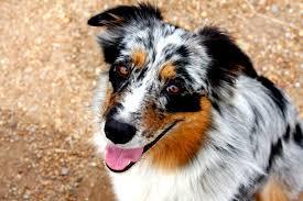 australian shepherd rescue who we are carolina hearts aussie rescue