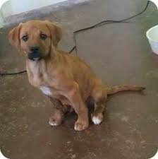 australian shepherd lab mix puppy b13d470b42679524ef9a15724ae65c27 jpg 640 640 dogs pinterest