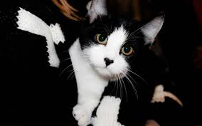 Cute Black And White Wallpapers by Cute Black White Cat Wallpaper 2560x1600 12554