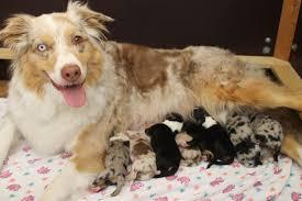 australian shepherd 1 jahr kaufen mittelgroße hunde kaufen u0026 verkaufen bayern seite 14