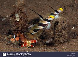 randalli shrimp and two filament finned prawn goby alpheus