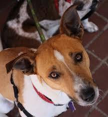 australian shepherd queensland heeler mix pictures cattle dog archives rocket dog rescue