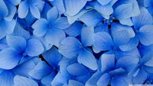 blue hydrangea blossoms 4k hd desktop wallpaper for 4k ultra hd