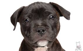 gentle touch staffordshire bull terrier puppy soap all natural