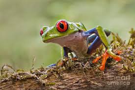 eyed tree frog photograph by sherry