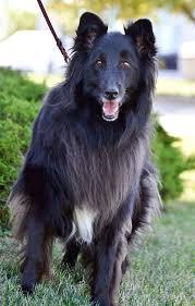 adopt a belgian sheepdog success stories belgian sheepdog rescue trust