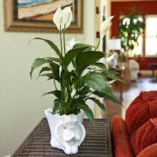why peace lilies are the best indoor plants to clean the air