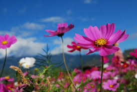 blue and purple flowers cosmos flower images pixabay free pictures
