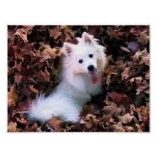 american eskimo dog nz american eskimo dog art posters u0026 framed artwork zazzle co nz