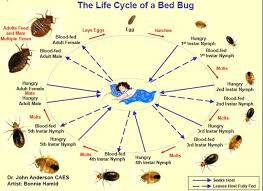 How Often Do Bed Bugs Reproduce The Bed Bug Lifecycle Diagram Guide And Pictures