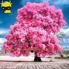 land miracle japanese pink cherry blossom tree 10 seeds