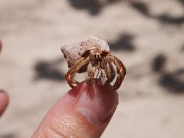 hermit crab snacking on my thumb cuba imgur