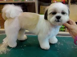 list of shih haircut shih tzu dogs haircuts in dog dogworld pinterest dog
