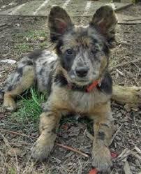 corgi x australian shepherd corgi australian shepherd mix http www corgimixes com corgi