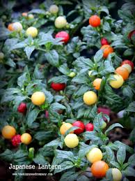 japanese lantern plant japanese lantern chilli the hippy seed company your chilli experts