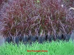 50 purple grass ornamental pennisetum seeds in the