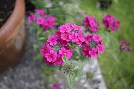 verbena flower verbena