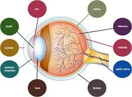 Anatomy Of The Eye The Anatomy Of The Eye Burnett Hodd Optometry