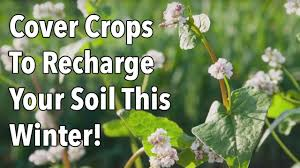 cover crops to recharge your soil this winter youtube