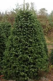 9 foot christmas tree 8 5 9 foot nordmann fir christmas trees green valley christmas