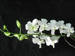 white dendrobium orchids white dendrobium orchids search dowls