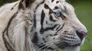 what is the white tiger u0027s food web reference com