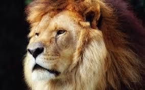 imagenes de leones salvajes gratis animales leones caras del papel pintado fondos de pantalla gratis