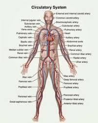 Sheep Heart Anatomy Quiz Sheep Heart Vessels Identified Human Body Anatomy