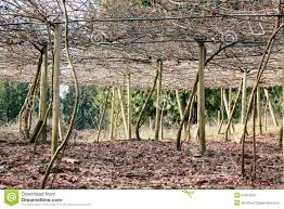 vineyard canopy or trellis stock photo image 51443832