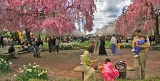 philadelphia u0027s annual cherry blossom festival blooms across town